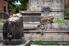 monkey at the temple (Der Berzerker) Tags: 2018 d750 kathmandu nepal nikon