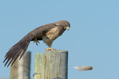 Is that Mine? (Amy Hudechek Photography) Tags: swainsons hawk bird raptor feather stretch wing fence colorado arapaho national wildlife refuge nwr nature summer june amyhudechek nikond500 nikon600mmf4