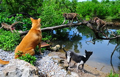 ,, Tails ,, (Jon in Thailand) Tags: dog dogs k9 k9s monkeys monkey primate primates apes swamp themonkeytemple mangroveswamp green yellow monkeytails dogtails dogears swamptrees blue reflection babymonkeys movingmonkey nikon nikkor d300 175528 mama legsthezoomer littledoglaughedstories