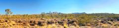 2018.06.07.17.02 (Jeff®) Tags: jeff® j3ffr3y copyright©byjeffreytaipale nevada california joshuatrees desert bluesky goldenhour flora cactus brush dirt rocks panorama