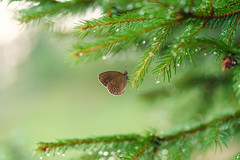 even in the quietest moments... (_andrea-) Tags: supertramp sonya7m2 fe90mmf28macrogoss macro bokeh bokehshots bokehjunkie bokehs butterfly raindrops augenfalter insekten insects tanne objektiv nature