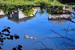 A Clear Day (Haytham M.) Tags: canada ontario family ducks blue clear sky houses homes twigs trees reflection lake pond swimming outdoors outdoor