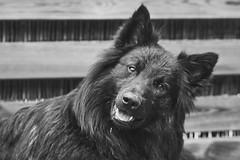 Totoro (Jos Mecklenfeld) Tags: sonya6000 sonyilce6000 minoltamdzoom75200 minoltamdzoom75200f45 minoltamdzoom75200mmf45 minoltamdlens minoltamd minolta totoro dutchshepherd dutchshepherddog hollandseherder hollandseherdershond herder herdershond shepherd shepherddog dog hond
