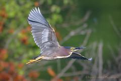 Green Heron (Kevin James54) Tags: butoridesvirescens greenheron lakegalena nikond500 nikond850 peacevalleypark tamron150600mm animals avian bird buckscounty heron kevingianniniphotocom