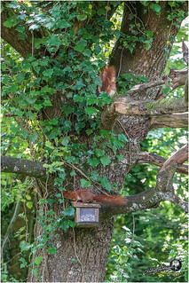 Au jardin (écureuil roux (2))