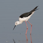 Black-winged Stilt thumbnail