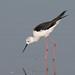 Black-winged Stilt (davidgardiner8) Tags: oaremarshes