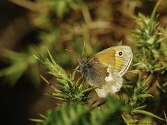 brown butterfly ? (blackfox wildlife and nature imaging) Tags: panasonicg80 leica100400 butterflies wales wildlife insects closeups