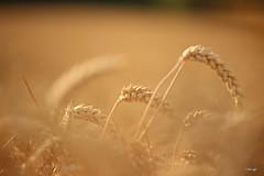 macro friday - Three in a row- (FLOCVROFF) Tags: summer soft colors chivaroff 250mm proxi moissons blés