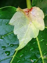 Wetted (The-Beauty-Of-Nature) Tags: summer sommer june juni nature germany deutschland plants pflanzen green grün lush sunny sun sonne sonnig warm fields feld leaf