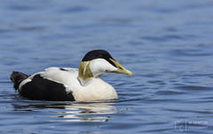 Male Eider - Seahouses Harbour (mikedenton19) Tags: eider duck male somateria mollissima somateriamollissima wildlife nature bird seahouses harbour northumberland coast sea