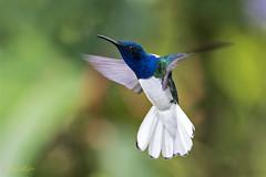 White-necked Jacobin (Florisuga mellivora) (Frank Shufelt) Tags: whiteneckedjacobin florisugamellivora male trochilidae hummingbirds aves birds wildlife elensueño circasia quindío colombia southamerica june2018 20180621 2315