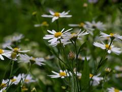 asters 1 (wundoroo) Tags: nybg newyorkbotanicalgarden newyork bronx summer june micro43 60mmf28lens flowers asteraceae rockgarden