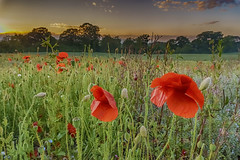 Poppies, East Calder (Dougie Milne Photography) Tags: poppies poppy eastcalder westlothian flowers sunset plants vegetation floral evening bloom clouds sun buds trees nightfall gloaming scotland scottish red nature flower field green summer spring landscape plant grass meadow background blossom beautiful wildflower petal outdoor sky garden colourful season rural