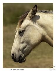 Just Chillin' (Trevor Watts Photography) Tags: nikon dslr gb uk england devon lundyisland june 2018 summer dayout sunny island channel atlantic © trevorwatts d500 200500f56 pony horses wildlife