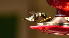 Hummingbird_1098c (Porch Dog) Tags: 2018 garywhittington nikond750 nikkor200500mm backyard birdfeeder hummingbird nature wildlife outdoors