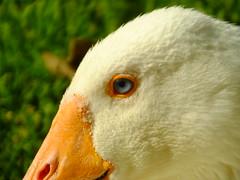 Such a Blue Eye! (Cornishcarolin. Stupid busy!! xx) Tags: cornwall httpswwwroskillyscouk birds geese nature eye 1001nights 1001nightsmagiccity