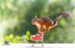 red squirrel is on an shopping cart (Geert Weggen) Tags: agriculture animal backgrounds closeup colorimage crop cultivated cute dirt environment environmentalconservation environmentaldamage environmentalissues food freshness gardening global greenhouse growth harvesting healthyeating horizontal humor lifestyles mammal nature newlife nopeople organic outdoors photography planetspace planetearth plant pollution red rodent seed socialissues springtime squirrel summer tomato vegetable garden shoppingcart bispgården jämtland sweden geert weggen ragunda hardeko