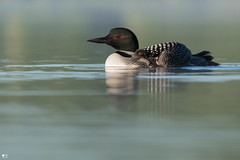 ''Sous la jupe de sa maman!'' Plongeon huard-Common loon (pascaleforest) Tags: bird animal passion nikon nature kayak eau water lac wild wildlife faune québec canada oiseau matin morning famille familly