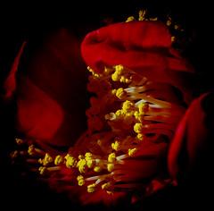 (chapdav) Tags: close red yellow bellefleur flower canon6d