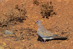 Mourning dove (baghayi.com) Tags: mourning dove mourningdove animal creature fly bird baghayi photography mountain کوه عکاسی بقایی یاکریم حیوان موجود پرنده جنگل jungle