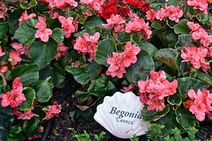 Begonia Ceveca (chooyutshing) Tags: flower begoniaceveca begoniabrilliance floraldisplay flowerdome gardensbythebay baysouth marinabay singapore