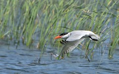 Caspian Tern (hd.niel) Tags: caspiantern terns lakeontario birds marsh nature wildlife photography