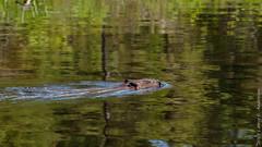 Beaver (Larry E. Anderson) Tags: bearheadlake bearheadlakestatepark beaver castorcanadensis landof10000lakes minnesota lake mammal seasons spring water
