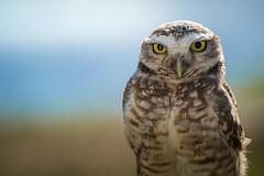 Coruja-buraqueira / Athene cunicularia (lcarvalho583) Tags: owl coruja birds wildlife