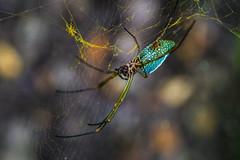 Spider - Colombia (Sebhue) Tags: spiders arañas insectos fotografiamacro macro