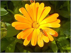 Yellow Marigold ... (** Janets Photos **) Tags: uk flowers flora plants marigolds insects