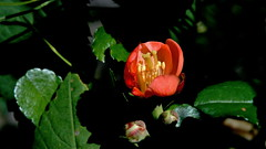 Japanische Zierquitte (Chaenomeles japonica) (dl1ydn) Tags: dl1ydn garden blossom blüte garten nature voigtländer colorskopar f3580mm manuell mf nahaufnahmen closeup zierquitte
