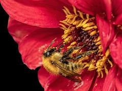 Bee on a Dahlia Bloom  Explored (Rattyman76) Tags: bee dahlia d500 nikon105f28