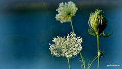 1-2018-07-0713 wild flowers near the pond, artwork (profmarilena) Tags: profmarilena artwork wildflowers blue