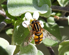 Footballer Hoverfly (wild anona) Tags: insects macro harlow carr