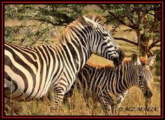 FEMALE COMMON ZEBRAS WITH BABY FOWL (Equus burchelli).....NAIROBI NAT PARK......OCT 2013 (M Z Malik) Tags: nikon d3x 200400mm14afs kenya africa safari wildlife nairobinatpark exoticafricanwildlife zebras ngc