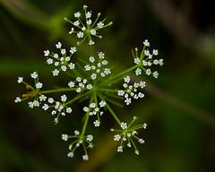 Wildflower (stephaniepluscht) Tags: alabama 2018 wildflower white gulf state park shores