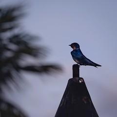 Silhouette Swallow. (malcolmgrant2) Tags: fiji denarauisland silhouette fijibird fe70200 sonya7