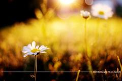 Greeting the Solstice Sun (Jamie Hedworth) Tags: summer summersolstice sunrise daisies flowers garden flora wildflower meadow toronto ontario canada jamiehedworthphotography sonydslra390