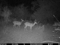 2018-06-24 03:38:52 - Crystal Creek 1 (Crystal Creek Bowhunting) Tags: crystal creek bowhunting trail cam
