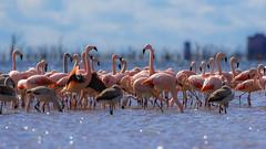 Naturaleza salvaje - Grupo de Flamencos Australes en la Laguna Mar Chiquita (Jose Lozada Naturaleza (Argentina)) Tags: coth5 flamenco nature naturaleza argentina cordoba flamencorosado flamencoaustral marchiquita wildword