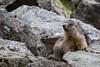 ma première marmotte de l'année (Nicolas Rouffiac) Tags: marmotte marmottes marmot marmots animal animals animaux montagne moutain nature wild wildlife sauvage
