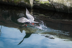 Inflight Meal (Exploring...) Tags: actionshot animals aquarium birds daysout devon england europe flying incatern livingcoast nikon nikond5500 style torquay uk