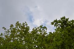 Ψίνθος (Psinthos.Net) Tags: ψίνθοσ psinthos june summer καλοκαίρι ιούνιοσ φύση εξοχή nature countryside afternoon απόγευμα απόγευμακαλοκαιριού συννεφιά cloudy cloudiness sky clouds σύννεφα νέφη ουρανόσ bluesky γαλάζιοσουρανόσ πλατάνια πλάτανοι πλατάνοι πλάτανοσ trees tree δέντρα δέντρο planetrees planetree leaves φύλλα treebranches κλαδιάδέντρου κλαδιάδέντρων seeds σπόροι σκιά shadow κοιλάδα κοιλάδαψίνθου κοιλάδαψίνθοσ valley psinthosvalley