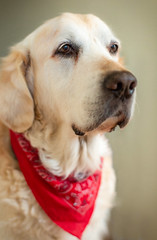 169/365: I'm not looking... (judi may...mostly off until mid July) Tags: 365the2018edition 3652018 day169365 18jun18 52weekchallenge dog bruno goldenretriever goldenoldie canon5d 50mm depthoffield dof portrait petportrait pet mybeautifulboy