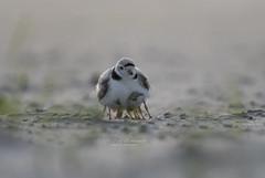 Piping plover (suraj.ramamurthy) Tags: nikkor500mm nikond500 pipingplover longislandbeaches