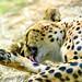 Asnaro, Male Cheetah of Yokohama Zoological Gardens :  チーターのアスナロ(よこはま動物園ズーラシア)