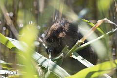 Water Vole (AndyNeal) Tags: animal wildlife nature essex essexwildlifetrust fingringhoe fingringhoewick naturereserve kitspond reeds watervole water vole