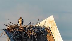 Waiting (Kevin Tataryn) Tags: nest osprey fish birdofprey hunter predator feathered feathers lake water nikon d500 300mm