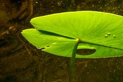 Näckrosor (Alenius) Tags: gothenburg västragötalandslän sweden se surtesjön snorkling snorkelling snorkeling undervatten underwater water lily näckrosor näckrosblad leaves